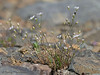 Slender sandwort, Minuartia tenella