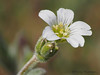 Field chickweed, Cerastium arvense
