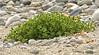Seabeach sandwort - Honkenya peploides