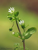 Common chickweed, Stellaria media - Comox, B.C.