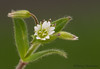 Mouse-eared chickweed, Cerastium fontanum