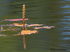 Floating-leaved pondweed, Potamogeton natans