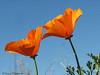 California poppy, Eschscholzia californica, Qualicum Beach, B.C.