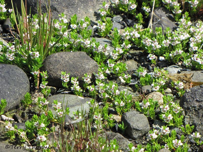 Sea milkwort, Glaux maritima