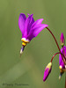 Pretty shootingstar, Dodecatheon pulchellum