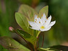 Northern starflower, Trientalis arctica
