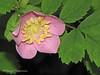 Baldhip rose - Rosa gymnocarpa
