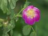 Baldhip rose, Rosa gymnocarpa