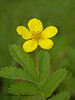 Common silverweed, Potentilla anserina