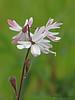 Small-flowered fringecup, Lithophragma parviflorum - Nanaimo