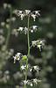 Foamflower - Tiarella trifoliata