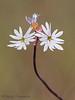 Small-flowered fringecup, Lithophragma parviflorum