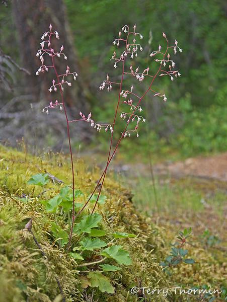 Small-flowered alumroot, Heuchera micrantha