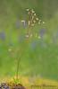 Alaska saxifrage, Micranthes ferruginea