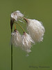 Narrow-leaved cotton-grass, Eriopphorum angustifolium