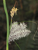 Slough Sedge, Carex obnupta - Seal Bay Nature Park, Comox, B.C.