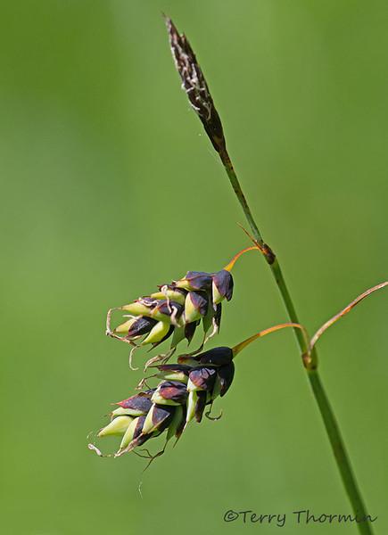 Many-flowered sedge, Carex pluriflora