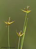 Few-flowered sedge, Carex pauciflora