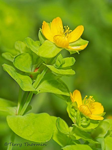 Bog St. John's-wort, Hypericum anagalloides