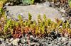 Mossy stonecrop, Crassula tillaea