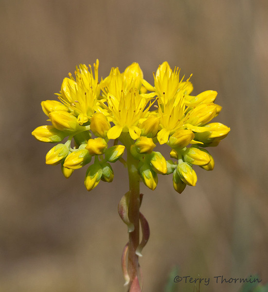 Lance-leaved stonecrop, Sedum lanceolatum