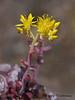 Broad-leaved stonecrop, Sedum spathulifolium - Nanaimo