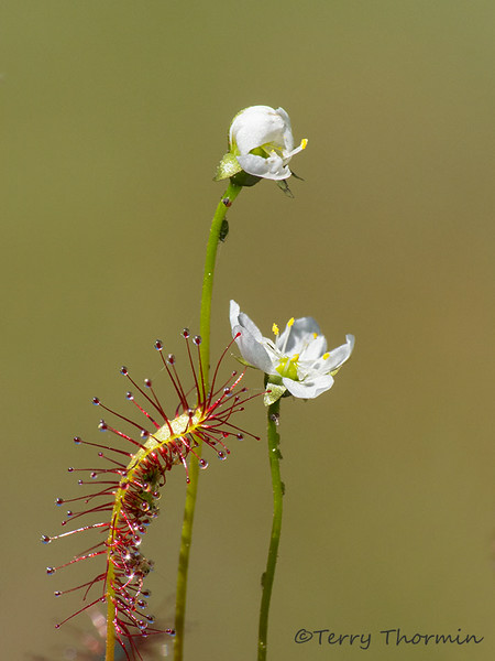 Great sundew, Drosera anglica