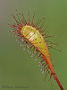 Great sundew leaf, Drosera anglica