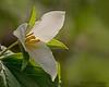 Western trillium,  Trillium ovatum