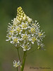 Meadow death-camas, Toxicoscordion  venenosum