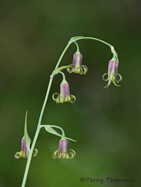 Western mountainbells, Stenanthium occidentale