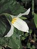 Western trillium, Trillium ovatum - Courtenay, B.C.
