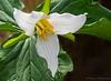 Western trillium, Trillium ovatum - Cumberland Marsh