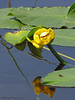 Rocky Mountain pond-lily, Nuphar polysepala - Little River, B.C.