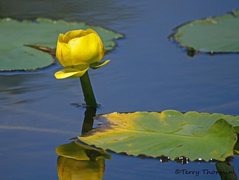 Rocky Mountain pond-lily, Nuphar polysepala