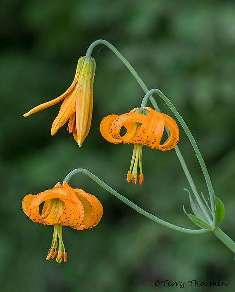 Tiger lily, Lilium columbianum