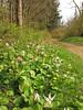 Pink fawn Lilies, , Erythronium revolutum