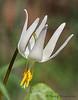 White fawn lily, Erythronium oregonum