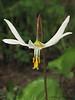 White fawn Lily, Erythronium oregonum - Courtenay B.C.