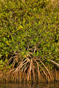 Mangrove tree - Brownsville, TX, USA