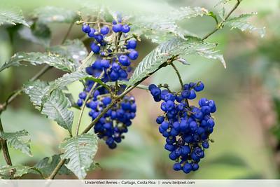 Unidentified Berries - Cartago, Costa Rica
