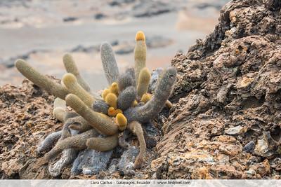 Lava Cactus - Galapagos, Ecuador