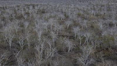 Palo Santo forest on Floreana - Galapagos, Ecuador