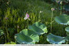 Waterlily bud - Nariva Swamp, Trinidad