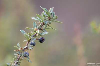 Calafate berries - Chile