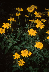 Mountain Oxeye (Heliopsis parvifolia) Big Bend National Park, TX, 1958