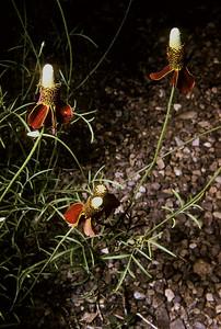 Prairie Coneflower (Ratibida columnifera) Big Bend National Park, TX, 1959
