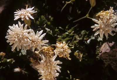 White Rocklettuce (Pinaropappus roseus) Big Bend National Park, TX, 1958