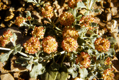 Buckwheat, (Eriogonum sp.) Big Bend National Park, TX, 1958