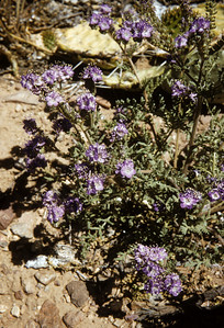 Pope's Phacelia (Phacelia popei) Big Bend National Park, TX, 1958